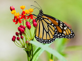 Monarch butterfly in Main