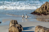 African Penguins pair in South Africa