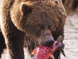 Brown Bear eating fish in Alaska