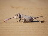 Reptile Chameleon in Nambia