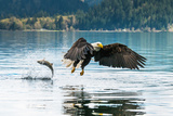 Bald Eagle Fishing in Canada