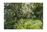 Rhododendron Golden Gate Park
