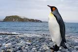 King Penguin in Antarctica