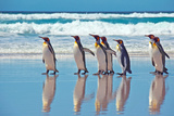 King Penguins by the water in Falkland Islands