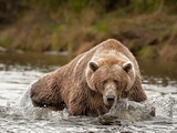 Brown Bear fishing in Alaska