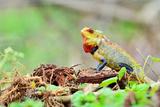 Reptile Chameleon in India