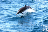Dolphin jumping in California