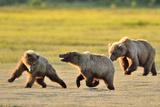 Brown Bears chasing in Alaska