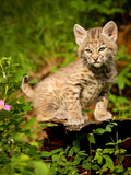 Wild cat Bobcat kitten in Montana
