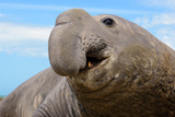 Elephant Seal in Argentina