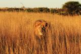 Wild cat male Lion in Zimbabwe