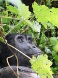 Primate Gorilla in Uganda