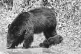 Black Bear cub with mother in Smoky Mountain Park