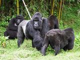 Primates Gorila family in Rwanda