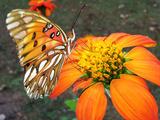 Fritillary butterfly on flower in Alabama