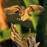 Burrowing Owl landing on tree in Florida