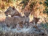 Wild cats lioness and cubs resting in Botswana