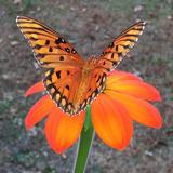 Fritillary butterfly wings in Alabama