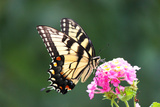 Tiger Swallowtail butterfly in Maryland