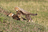 Wild cats Cheetah cubs in Kenya