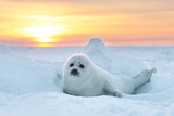 Baby Seal at sunset in Canada