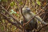 Primate monkey in Africa