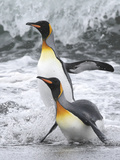 King Penguin pair in South Georgia Islands