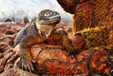 Reptile colorful Iguana in Galapagos Islands