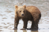 Brown Bear cub in Alaska