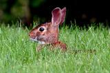 Rabbit in field in Ohio