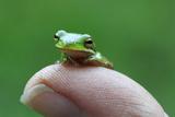 Amphibian Small Green Tree Frog in Alabama