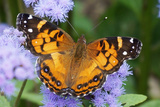 Butterfly on purple flowers in Connecticut