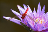 Red Dragonfly on purple flower  in Florida