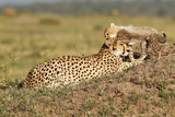 Wild cats Cheetah cub with mother in Kenya