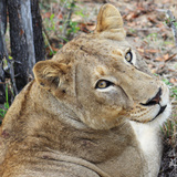Wild cat lioness resting in South Africa