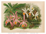 Orchids - Illustration from The Orchid Album (1887)
