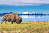 Bison and Lake