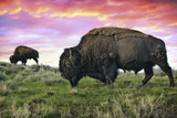 Bison and Sunset