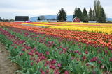 Multi Color Tulip Field