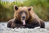 Glacier National Park - Grizzly Bear with Tongue Out