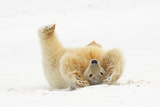 Polar Bear Playing in Snow