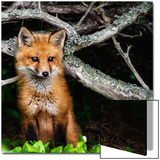 Red Fox in Maine