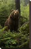 Brown Bear on a Wooded Hill