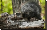 Baby Porcupine on a Tree Stump
