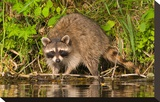 Adult Raccoon Hunting for Food