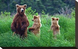 Grizly Bears at Katmai Alaska