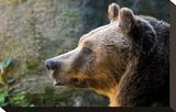 Marsican Brown Bear Profile
