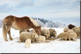 Sheeps & Haflinger Horse Winter