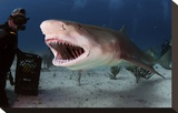 Large Lemon Shark Attacking