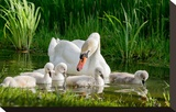 Swan and Its Babies in a Pond